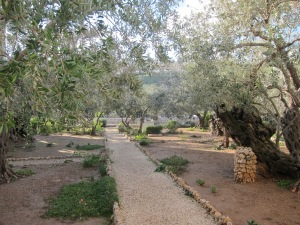 Olive groves at the Church of All Nations, Jerusalem (Photo: T Brennen)